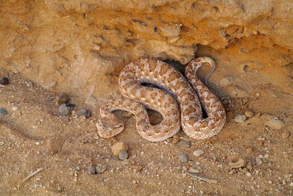 Гадюка в пустыне Иордании