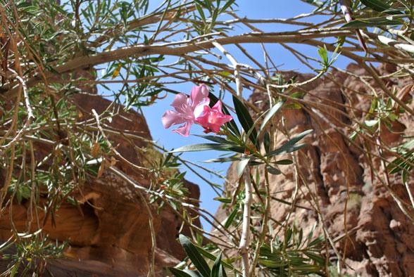 Цветущий олеандр, Иордания